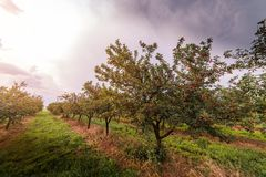 Ripe cherry orchard field Royalty Free Stock Photos