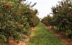 Ripe cherry orchard field Stock Images