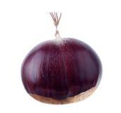 Ripe Chestnut Stock Image