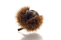 Ripe chestnut Royalty Free Stock Image