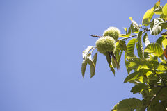 Ripe chestnut Stock Images