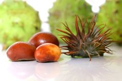 Ripe chestnuts. Closeup of a ripe chestnuts royalty free stock images
