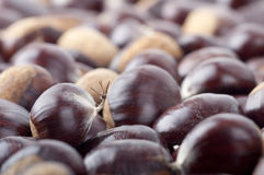 Ripe Chestnuts Royalty Free Stock Image