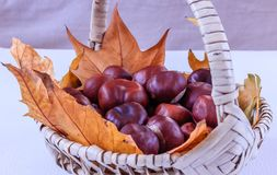Ripe chestnuts and autumn leaves in a basket, close up. Ripe chestnuts and autumn leaves in a basket on white background, close up Royalty Free Stock Image