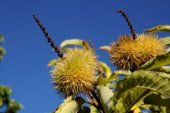 Ripe chestnuts on tree Stock Photography