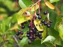 Ripe Choke Cherries. Or Prunus virginiana on tree in late summer royalty free stock photography