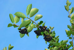 Ripe chokeberries. On leafy green aronia plant, blue sky background Stock Image