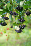 Ripe chokeberries Stock Images