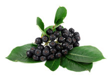 Ripe chokeberry isolated on white background Stock Photos