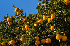 Ripe clementines on tree Royalty Free Stock Photography