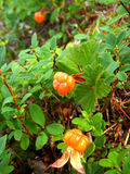 Ripe cloudberries grow in the wild Royalty Free Stock Image
