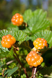 Ripe cloudberry Royalty Free Stock Photography