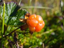 Ripe cloudberry grows in the tundra in natural conditions.  royalty free stock photography
