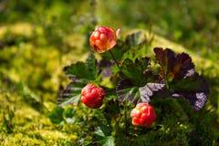 Ripe cloudberry (Rubus chamaemorus) Royalty Free Stock Photos