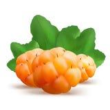 Ripe cloudberry vector illustration. Creeping raspberry  Stock Image