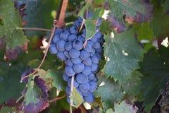 Free Ripe Cluster Of Tempranillo Grapes, Laguardia Spain Royalty Free Stock Image - 129438426