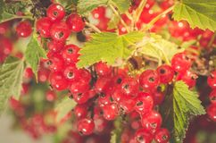 Ripe cluster of red currant/ripe red currant grows in a garden on sunlight. Berries currants bush fruit plant green leaf fresh branch bright bunch summer food stock photos