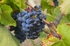 Ripe clusters of dark blue grapes. Royalty Free Stock Photography