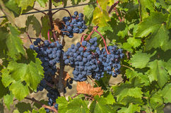 Ripe clusters of dark blue grapes. Stock Photography