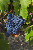 Ripe clusters of dark blue grapes. Stock Photos