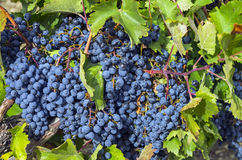 Ripe clusters of dark blue grapes. Stock Image