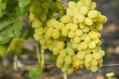 Ripe clusters of grape on grapevine Stock Images