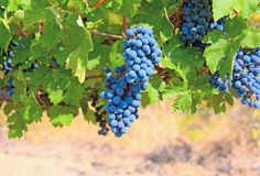 Ripe clusters of grapes Stock Image