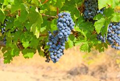 Ripe clusters of grapes with green leaves Royalty Free Stock Image