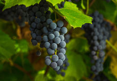 Ripe clusters of sweet red grapes Stock Images