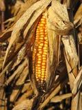 Ripe cob of Indian Corn. Ripe cob of yellow Indian corn or maize royalty free stock photo
