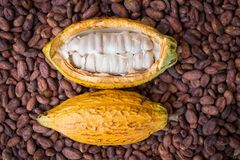 Ripe cocoa pod and beans setup on rustic wooden background.  Stock Image