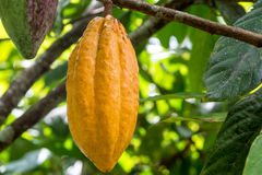 Ripe Cocoa Pod Stock Photo