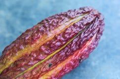 A ripe cocoa pod Stock Image