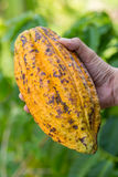 Ripe cocoa pod in hand Royalty Free Stock Photo