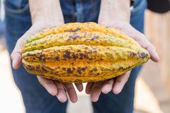 Ripe cocoa pod in hand Royalty Free Stock Image
