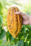 Ripe cocoa pod in hand Stock Photography
