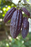 Ripe Cocoa pods Royalty Free Stock Image