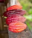 Ripe Cocoa Pods for Chocolate Stock Photo