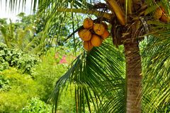 Ripe coconut on coconut tree Stock Photography