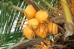 Ripe Coconut Palm royalty free stock image