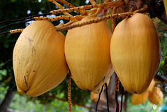 Ripe Coconuts. On a palm tree in the Philippines royalty free stock photo