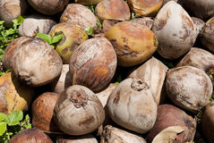 Ripe Coconuts. Ripe coconut has brown color Stock Images