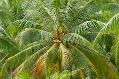 Ripe coconuts at the coconut palm at Koh Samui, Thailand. Koh Samui is one of the major coconut production areas in Thailand Royalty Free Stock Image