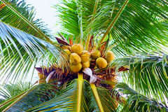 Ripe coconuts hanging on palm tree in tropical garden. Ripe coconuts hanging on the palm tree in tropical garden Stock Photos
