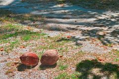 Ripe coconuts lie on the ground falling from a palm tree. Fallen coconuts on the sand. Copy space Royalty Free Stock Images