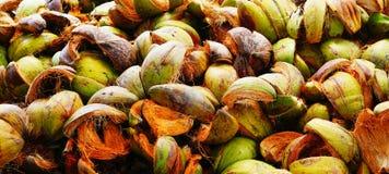 Ripe coconuts. A lots of Ripe coconuts in Asia Stock Photo