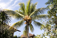 Ripe coconuts on the palm, Bali, Indonesia Royalty Free Stock Image