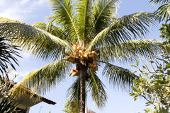Ripe coconuts on the palm, Bali, Indonesia Stock Image