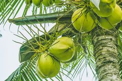 Ripe coconuts on a palm tree royalty free stock photography