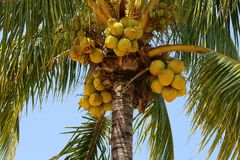 Ripe coconuts in a palm tree. Yellow ripe coconuts in a green palm tree in landscape format with copy space Stock Photo